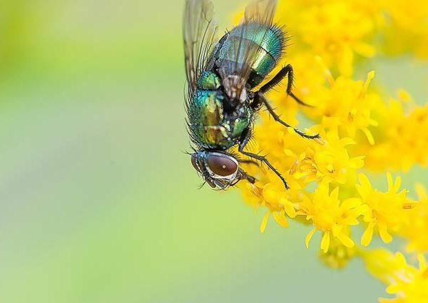 Μύγα πάνω σε λουλούδι
