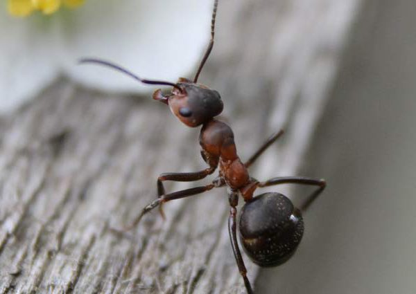 Μυρμήγκι